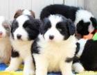 纯种边牧幼犬 保品质 保健康 保成活 打折热卖中