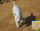 精品纯种卡杜高犬,优选培育强健幼犬,确保健康