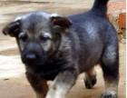 昆明卖昆明犬昆明买昆明犬昆明昆明犬昆明狗场常年出售纯种昆明犬