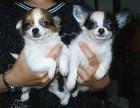 纯种吉娃娃幼犬出售 驱虫疫苗已做好 全国送货上门