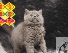 CFA注册猫舍—出售赛级高品质多色系蓝猫多窝可选