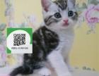 深圳哪里卖虎斑猫 虎斑猫价格 虎斑猫哪里有卖