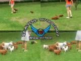 佛山正规犬舍出售纯种健康泰迪名犬 佛山禅城哪里有卖泰迪犬