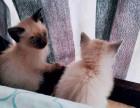 大连纯种小暹罗猫乖巧粘人 漂亮蓝宝石眼睛泰国暹罗猫