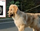 低价出售家养纯种赛级大头金毛巡回幼犬,欢迎上门挑选