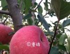 农家乐采摘、采摘!2017红富士苹果新鲜采摘