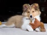 二色 三色喜乐蒂幼犬 免疫均已做完 签售后合同 包健康