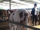 供应肉牛犊,黄牛犊,肉驴,波尔山羊,小尾寒羊