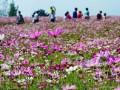 木兰草原团建-木兰草原团建一日游-秋季格桑花开的正盛快来围观