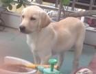 品质保证,血统纯正,正规繁殖基地出售�大中小型宠物犬