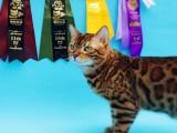 傲娇萌猫纯种豹猫 美短渐层蓝白折耳宠物猫活体幼体