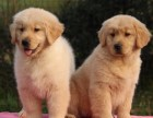 出售聪明可爱的金毛幼犬血统金毛宝宝公母都有