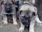 乌鲁木齐买狗 乌鲁木齐买昆明犬 买护卫犬昆明犬请进