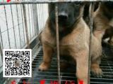 哪里有2~4个月的比利时马犬幼犬出售