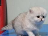 纯种可爱的波斯猫喜欢可以带回家