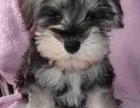 天津出售纯种雪纳瑞幼犬迷你标准型小体雪纳瑞黑银