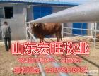 肉牛养殖场的肉牛犊,黄牛苗,架子牛,育肥肉牛犊