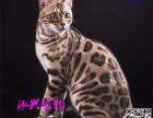 孟加拉豹猫 小猫幼猫宠物猫 亚洲原生态