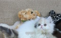 波斯猫宠物波斯猫幼猫纯种波斯猫波斯猫 宠物猫 幼猫