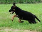 哪里出售德国牧羊犬 德国牧羊犬哪里出售