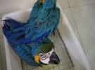 出售人工繁殖金刚鹦鹉 灰鹦鹉 葵花鹦鹉 鹦鹉 善学说话