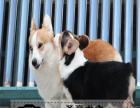 柯基犬-保纯种-保健康 疫苗驱虫均已做完 可签协议