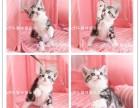 出售美国短毛猫 虎斑猫 美短加白 起司 可看猫咪视频
