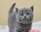 家庭式繁殖 【英短蓝猫】—— 品相好活泼粘人可