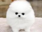 重庆博美犬多少钱 重庆哪里出售博美犬