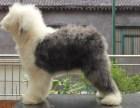 纯种古代牧羊犬 专业繁育 健康品质保障 可签协议