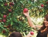 这个周末去哪里玩你想好了吗?快来三湖红桃采摘园吧!