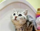 美国短毛猫 银虎斑 虎斑猫 标准斑 活 体