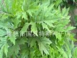特色蔬菜种子 菊三七种苗 菊三七种子