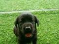 拉布拉多幼犬预定