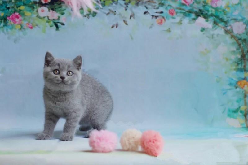 家庭猫舍出售纯种蓝猫幼猫,无锡纯种英短蓝猫多少钱什么价格