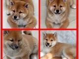 广州狗场直销纯血统柴犬 保证纯种健康 价格优惠 可签 协议