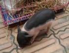 江苏苏州市白孔雀租赁-小香猪出租-羊驼租赁-公司年会庆典
