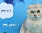 英国短毛猫 纯种猫折耳立耳 蓝猫蓝白幼仔 银渐层
