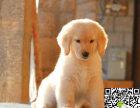 出售纯种幼犬金毛寻回导盲猎犬 多只挑选 健康品质保证