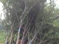 出售石榴树、石榴树苗、石榴树盆景、石榴、柿子树、