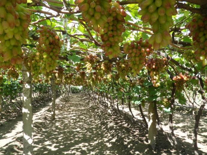 华东孟庄葡萄采摘园,巨野葡萄采摘园