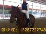 蒙古马现在多少钱一匹?山东哪里有养马场卖骑乘马