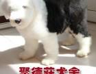 出售纯种古代牧羊幼犬 健康保证 信誉保证 签协议