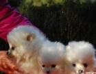 可爱的博美幼犬,有血统