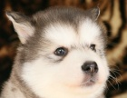 狗场直销-纯种阿拉斯加 包健康多只在售