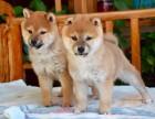 出售自家繁育的纯种健康柴犬幼犬,包健康纯种养活!