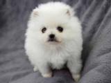 宠物店和狗市里的博美犬可以买吗 健康的多少钱一只