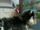 家养雪纳瑞幼犬