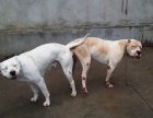 中国专业繁殖双血统杜高犬犬舍 可以上门挑选
