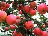 2020秋季到平谷拓展训练 秋季采摘大苹果或红提一日游
